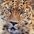 amurleopard5